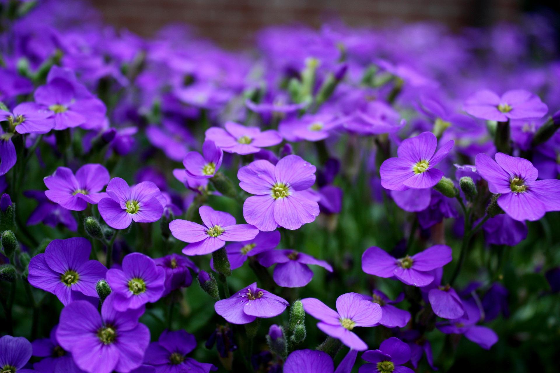 fondo-flores-purpura